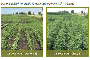 Soybean field treasted with DuPont Enlite� herbicide fb Roundup PowerMAX herbicide