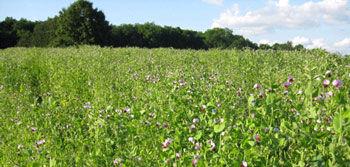 Legume cover crops - field pea.