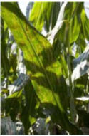 Gray leaf spot is one of the most common diseases in corn.