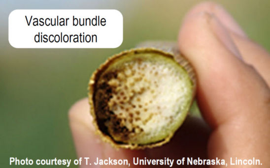 Vascular bundle discoloration from Goss's Wilt
