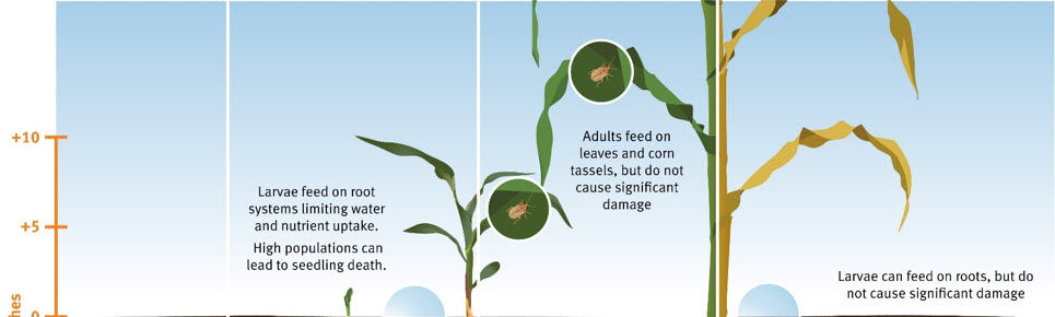 Illustration showing the life cycle of Grape Colaspis in corn.
