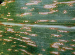 Photo showing corn leaf with gray leaf spot.