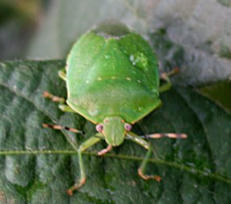 Photo showing adult green stink bug.