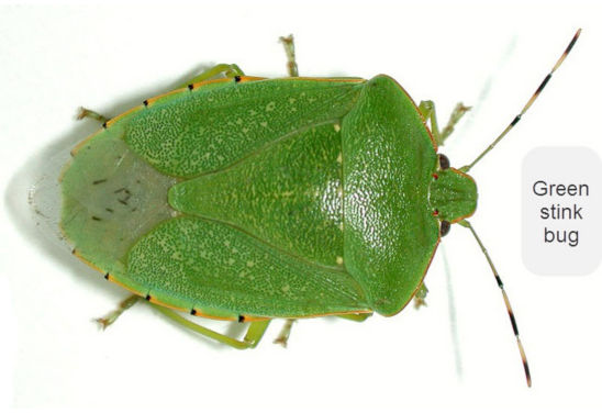 Green stink bugs have a clear forewing area of the wing tips