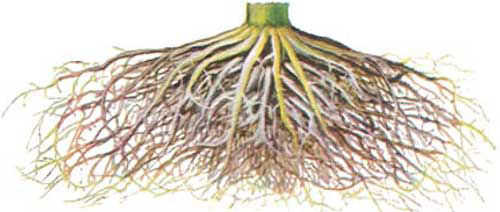 healthy corn root system