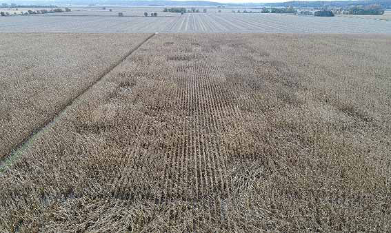 This is a photo of a Pioneer hybrid advancement trial showing differences in stalk lodging among hybrids.