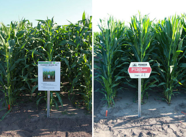 Photo showing Pioneer® corn hybrid 354 (introduced in 1953) and Pioneer P1365AMX™ brand corn (introduced in 2013.)