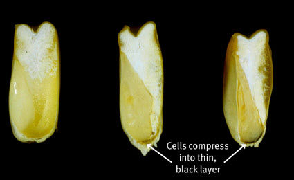 Close view of progression in color changes in the placental region of the corn kernel