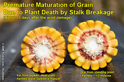 Premature maturation of grain due to plant death by stalk breakage.