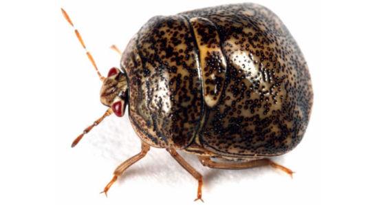 Adult Kudzu bug
