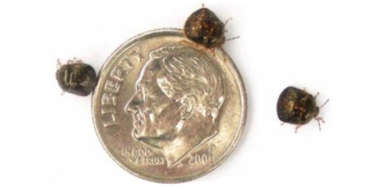 Adult Kudzu bugs