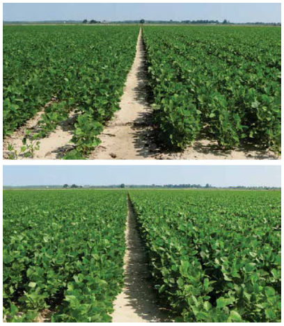 Canopy development in plots treated with preemergence applications of Boundary herbicide vs. LeadOff herbicide.