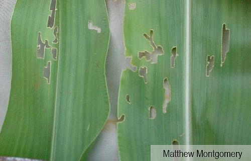 Photo showing feeding damage on corn leaf from grape colaspis beetles.