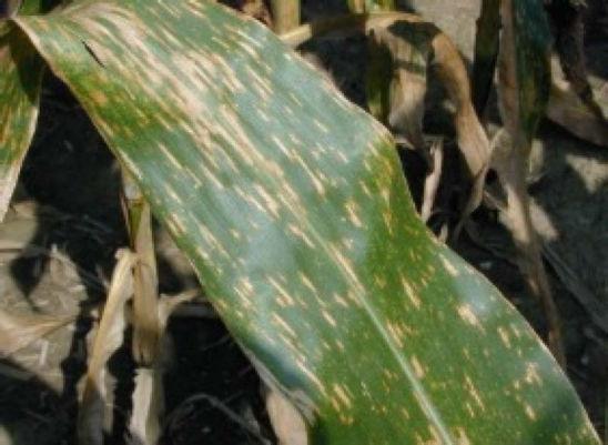 Gray leaf spot - corn leaf