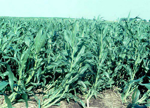 'Goose-necked' corn plants following an early July storm.