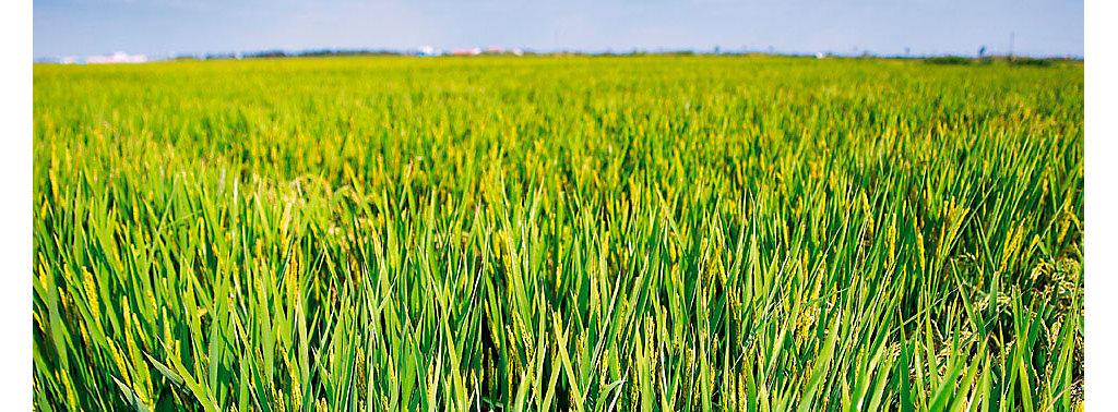 Loyant arroz