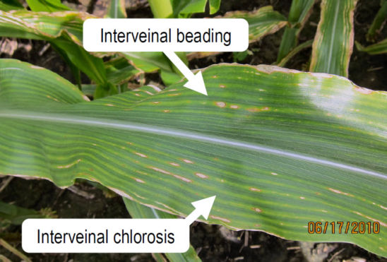 Leaf with interveinal beading and interveinal chlorosis