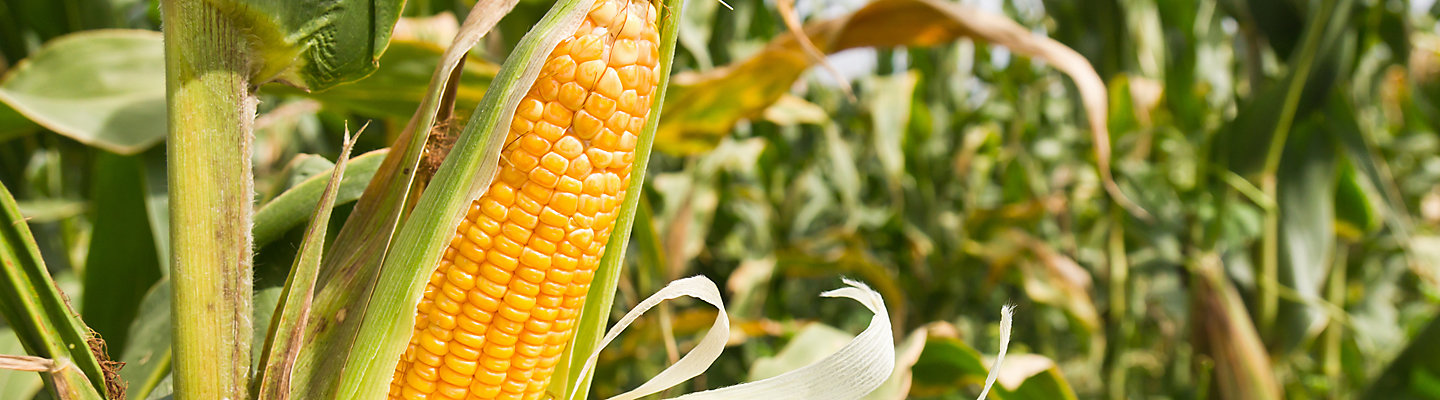 Maize_Banner_Mobile