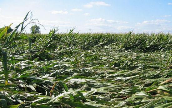 corn field damage from lodging