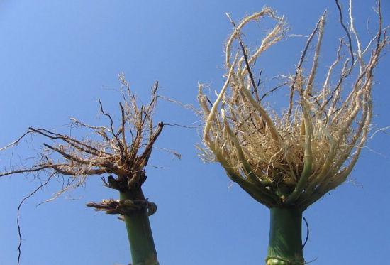 Corn rootworm damage