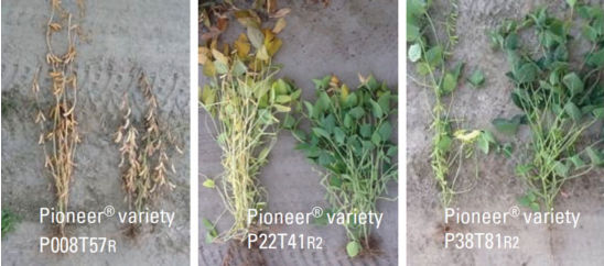 Normal and late planting date by soybean variety.