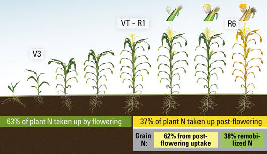 Percent of N taken up by the plant before and after flowering, and percent of N in the grain from postflowering.