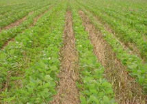 No-till soybean following cereal rye cover crop.