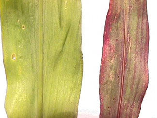 Phosphorus deficiency symptoms in sorghum.