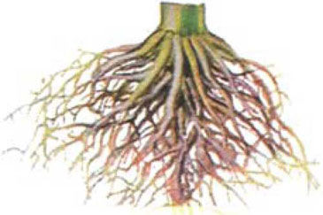 damage to corn roots from phosphate shortage