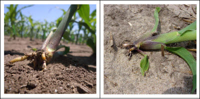 Rootless corn syndrome caused by shallow planting and dry soils conditions.