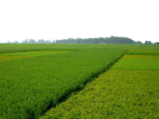 Alfalfa potato leafhopper-resistant variety on left, non-resistant variety on the right.