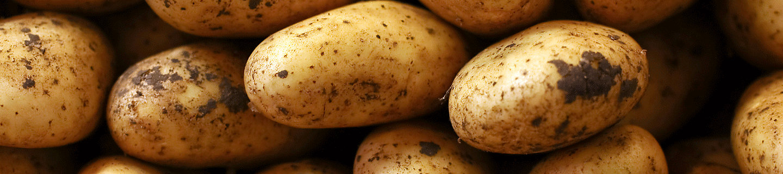 Много спелого картофеля