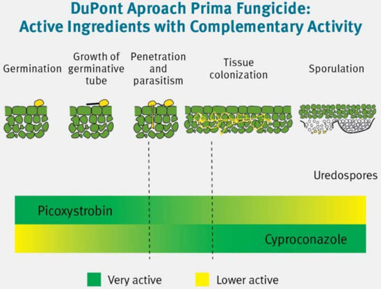 Dual mode of action in DuPont Aproach Prima fungicide: picoxystrobin provides early disease protection, while cyproconazole provides post-infection control and extended residual activity.