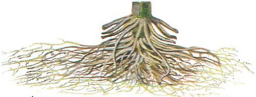 corn root system showing damage from pruning