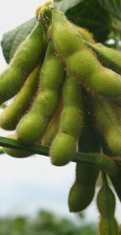 R6 Soybean Stage: Full Seed