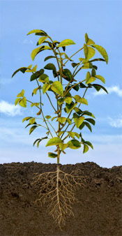 R8 Soybean Stage: Full Maturity