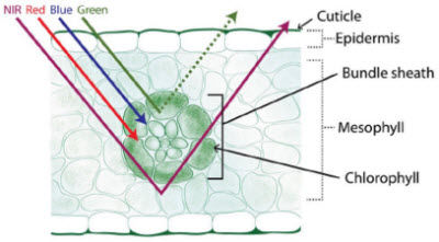 Corn leaf cross-section depicting the interaction of EM radiation of various wavelengths with different leaf anatomical components.