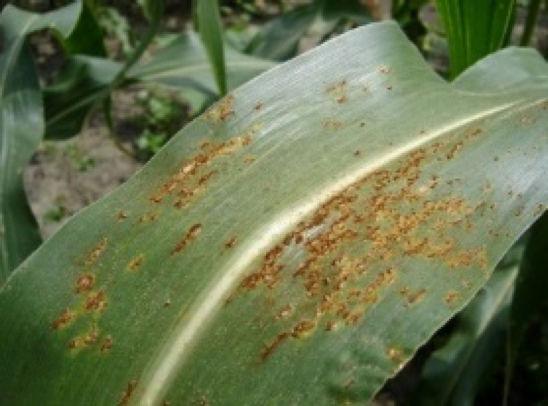 Common rust - corn leaf