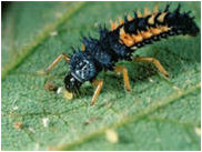Abundance of lady beetle larvae are often indicative of soybean aphid populations.