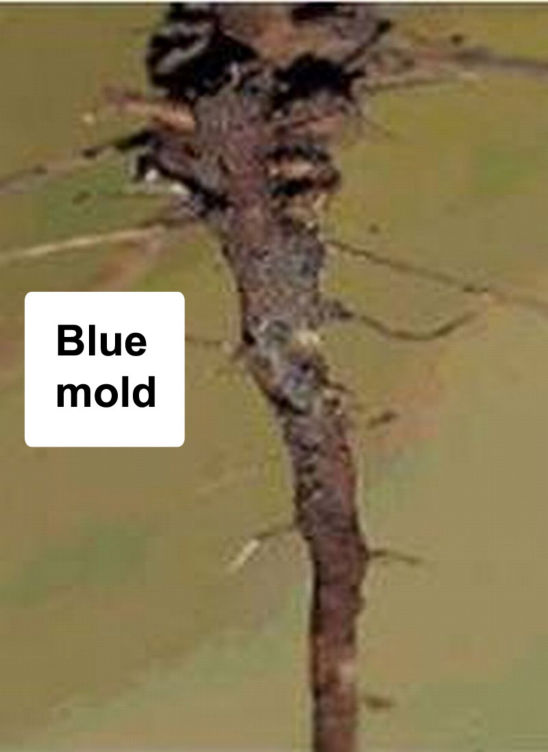 Root symptoms of SDS -- blue mold
