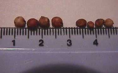Sorghum seed size comparisons