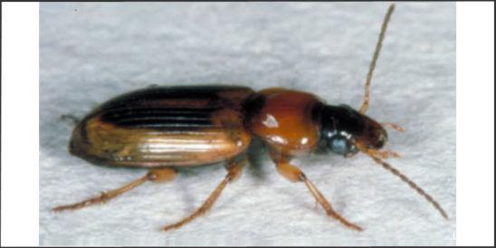 Photo: Seedcorn beetle