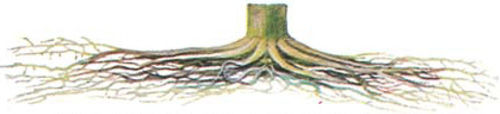 corn root system that is too shallow