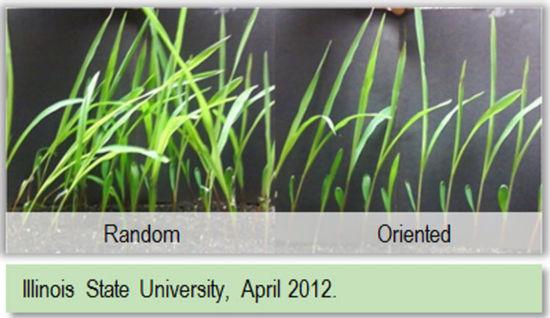 Photo: random vs. oriented corn seedlings