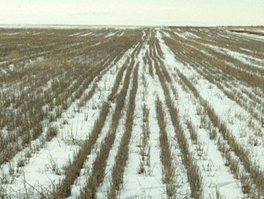 Snow trapped in sorghum field residue.