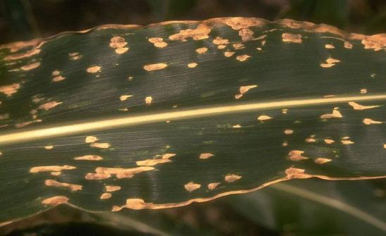 Corn leaf with Southern Leaf Blight