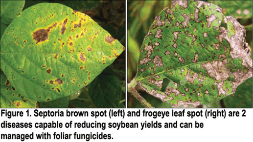 Septoria brown spot and frogeye leaf spot on soybean leaves.
