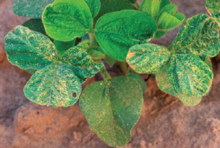 Soybean leaf bronzing due to acifluorfen.