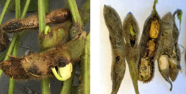Photo showing soybean pod and seed injury from disease.