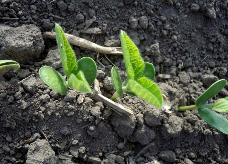 Uniform soybean emergence.